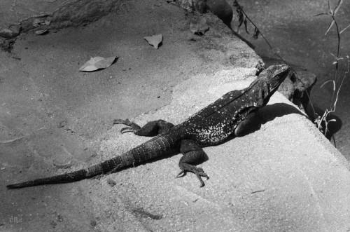 iguana yelapa 2014